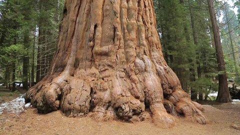 Sequoia tree. Giant Sequoia Tree in Sequoia National Park, California. Tilt up giant Sequoia trees in Yosemite National Park.