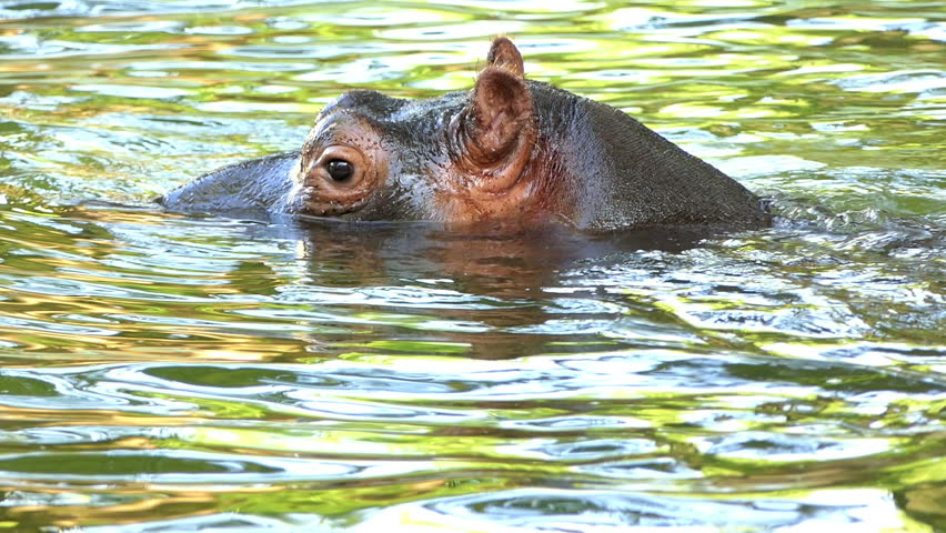 an Amazing Closeup of a Huge Hippopotamus Who Swims and Dives in a Pond and Sends Bubbles Through His Nostrils on a Sunny Day in Summer in Slow Motion. he Looks Cautious and Funny