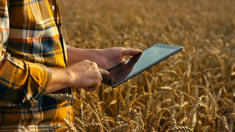 Agronomist or farmer inspecting quality of wheat plant field using tablet, ready for harvest. Shot in Red Epic Dragon