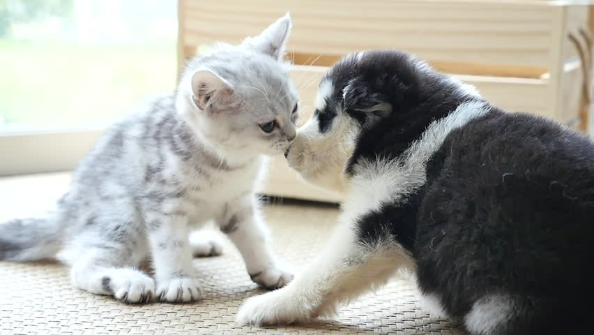 Cute tabby kitten kissing puppy in a room slow motion