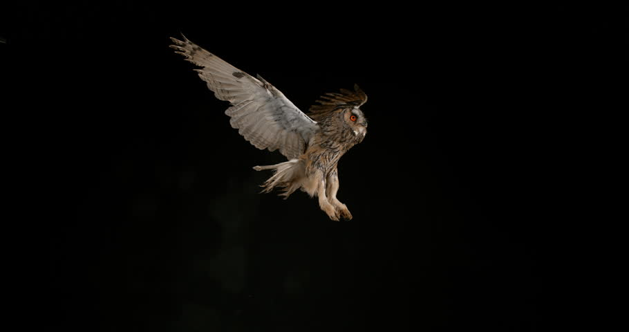 Long Eared Owl, asio otus, Adult in Flight, Normandy in France, Slow Motion 4K