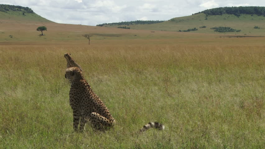 cheetahs in the plains of mara sitting in parallel.
