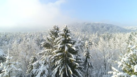 AERIAL CLOSE UP: Early morning fog rising above white spruce forest covered in snow on sunny winter day. Spectacular forest wrapped in morning mist and snow in sunny winter. Wintry forest landscape