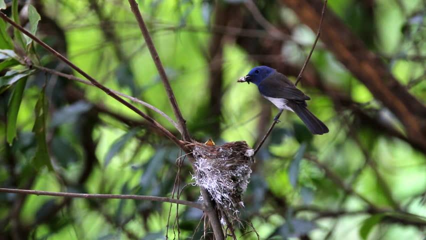 Black-naped Monarch Hypothymis azurea Female Feeding Baby Birds in the nest | Shutterstock HD Video #32267500