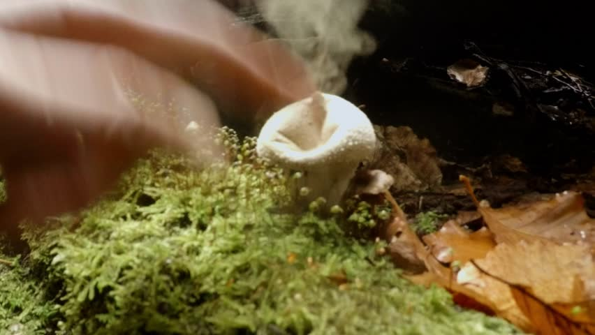 close up hand pokes his finger in a puffball mushroom which explodes with smoke spores