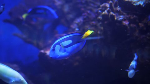 Acanthurus leucosternon, powder blue tang, powderblue surgeonfish, marine tropical fish, Acanthuridae, surgeonfishes, black fish is swimming by, aquarium, oceanarium, blue lamplight, underwater