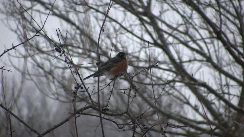 A Robin quietly sits in a tree letting us know that spring has finally arrived (High Definition)