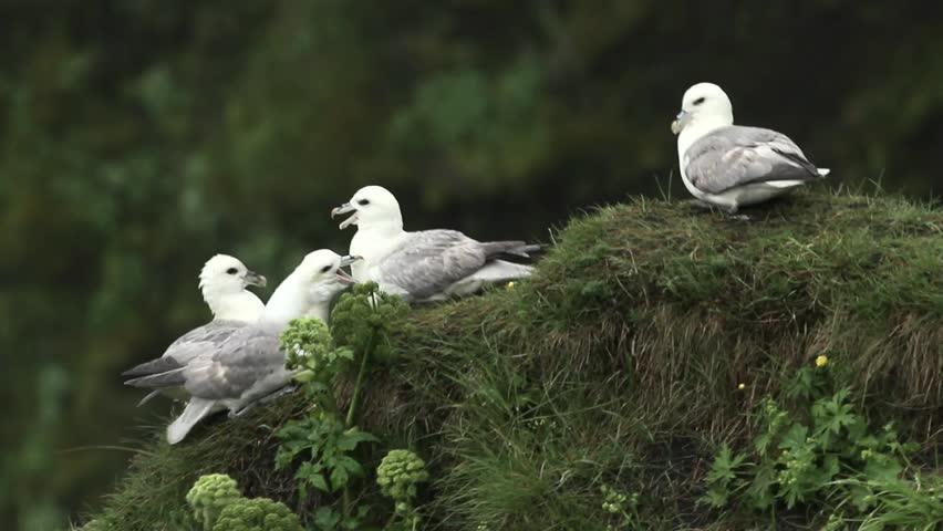 Header of fulmar