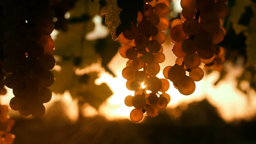 Ripe Vineyard Grapes. Grapes Vineyard Sunset. Tuscany, Italy. Italian Wineyard: Ripe Grapes On The Vine For Making White Wine.  Wine Grapes Harvest In Italy.  Italian Countryside Beautiful Vineyards.