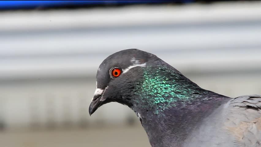 Header of pigeon