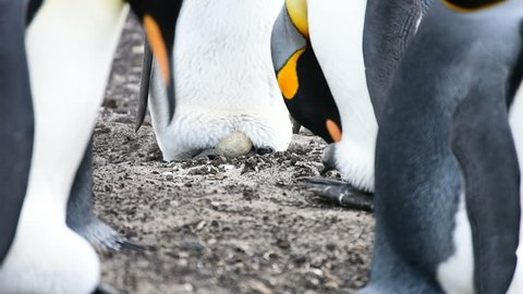 A chick of King penguin come out the egg