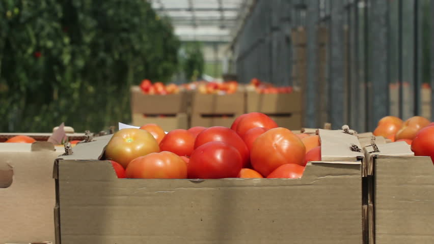 Tomatoes in the greenhouse | Shutterstock HD Video #3245452