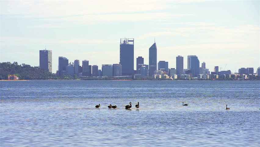 Black swans on the Swan river in Perth, Western Australia, with the city skyline in the background.