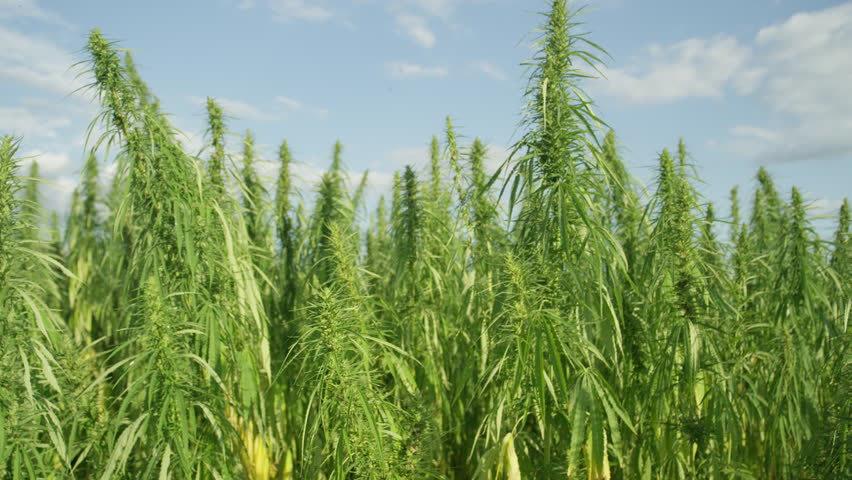 CLOSE UP Green marijuana plants growing in sunny field. Narcotic ganja plants agriculture in sunny Colombia. Narcos cultivating illegal weed plants for selling pot. Big marijuana field cultivation