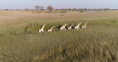 Aerial view of giraffe herd walking across the grassy plains of the Okavango Delta, Botswana