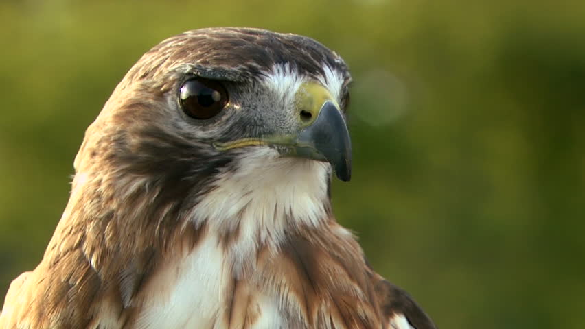 Red tailed hawk sitting on branch