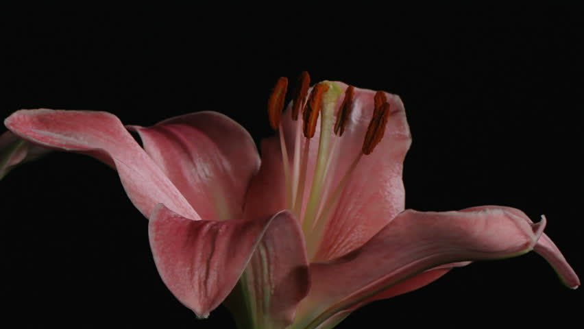 Medium close up motion time lapse shot turning around lily flower bulbs opening and blooming against a black background.