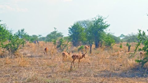 Cinematic shot of herd of impala antelopes walking through colorful, dry savanna fields of African safari of Tarangire national park in Tanzania, Africa on a bright, hot, sunny day.