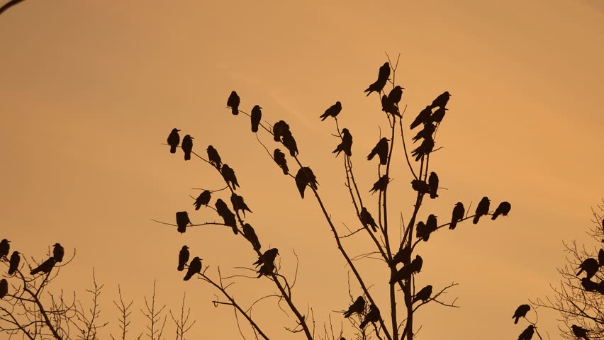 Flock of raven birds autumn sitting on tree dry branches of trees sunset orange silhouette. crows birds flock | Shutterstock HD Video #32672890