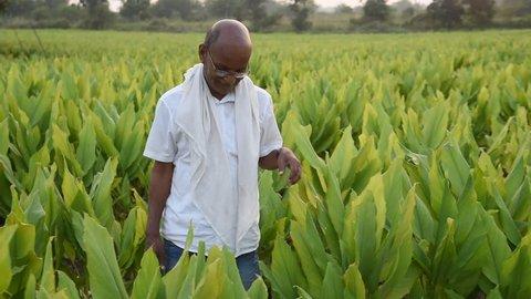 Indian farmer in Turmeric plant field at village, Maharashtra, India.