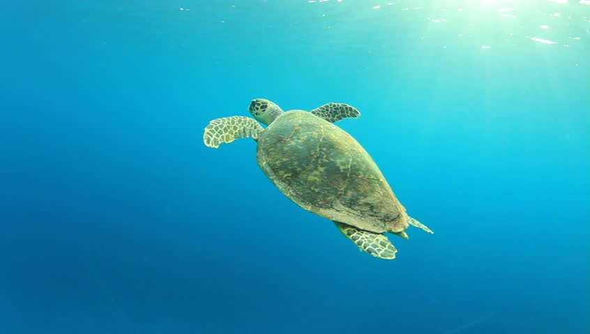 Hawksbill Sea Turtle swimming in blue water, comes up for air and then dives again | Shutterstock HD Video #3271511