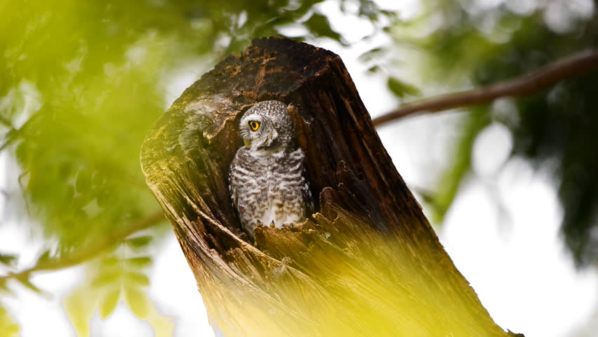 The spotted owlet (Athene brama) in a tree hollow