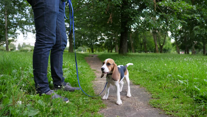 Cool Small Leg Beagle Adorable Dog - 9  Gallery_6110067  .resize(height:160)