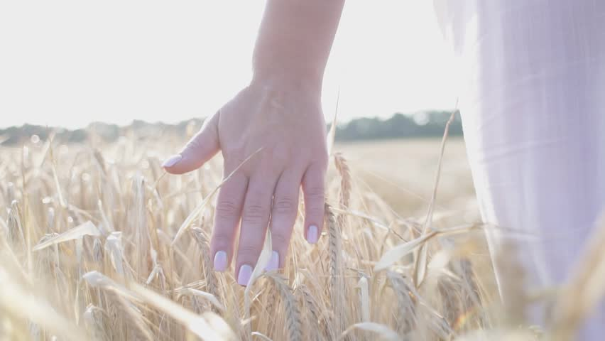 Female hand touching wheat on the field in a sunset light. Slow motion #32840350