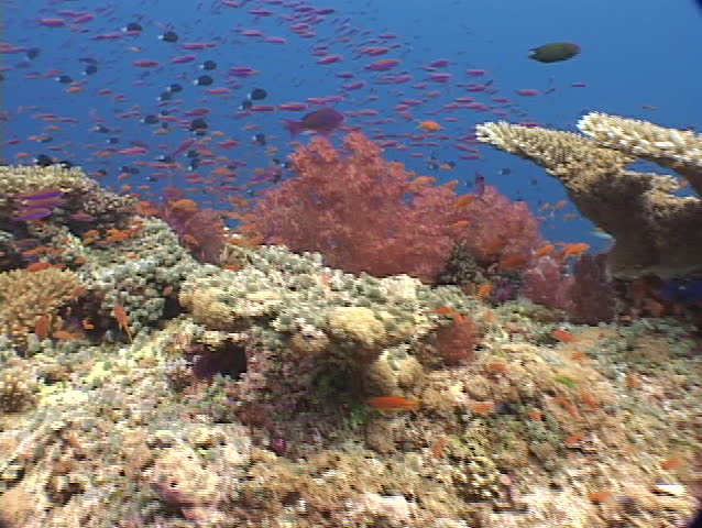 Panorama of coral and tropical fish of Fiji, South Pacific.