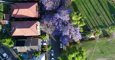 Jacaranda trees in full blossom in spring time on a quite street in Kirribilli viewed from above top down.