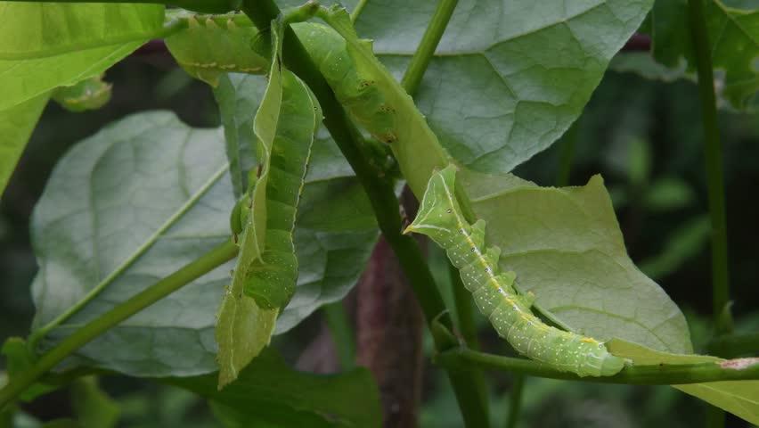 A few moth caterpillars(Amphipyra monolitha Guenée) devour the wisteria leaves(Wisteria floribunda (Willd.) DC) (CLOSEUP)