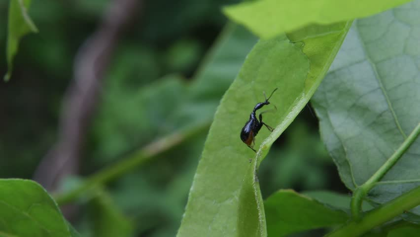 A leaf rolling beetle(Cycnotrachelus coloratus) crawls on the wisteria leaf(Wisteria floribunda (Willd.) DC)