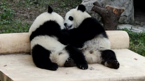 Panda Kiss Kiss, After Eating their Apples, Panda Cubs are Licking the Leftover Apple Juice on each other's Bodies