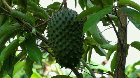 Guanabana fuit on the tree. Soursop Fruit on the tree. Soursop or Guanabana (Annona muricata). Exotic fruit. Tropical fruit tree. agriculture concept. fruit in the jungle, Colombia.