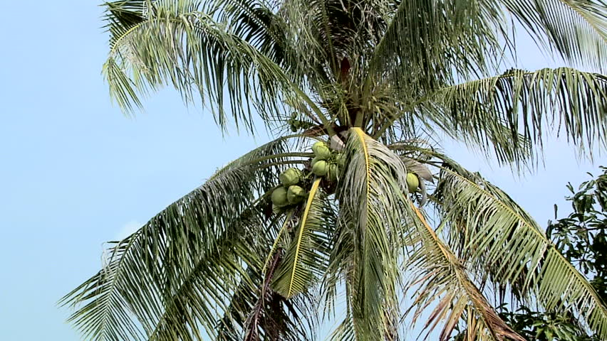 Coconuts growing in the Palm Tree