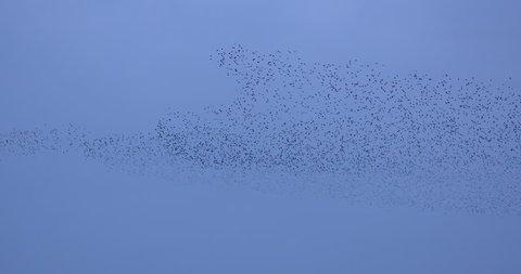 Large Starling murmuration