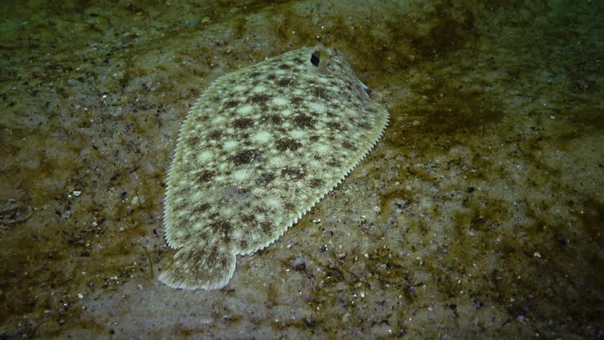 Fish of the Black Sea. Flat fish Sand sole (Pegusa lascaris), similar to sand, slowly floats and lies at the bottom, raising the fin