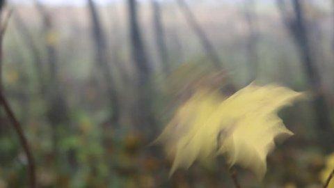 Deep autumn. Wind rips yellow leaves. Last leaf of maples rotates in wind like pinwheel (propeller, airscrew), very elastic petiole