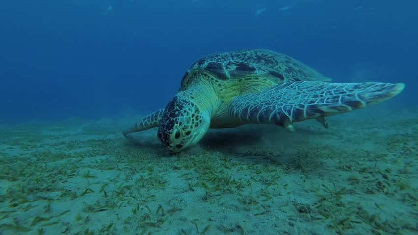 Portrait of a Green Sea Turtle (Chelonia mydas) eating sea grass, Red sea, Marsa Alam, Abu Dabab, Egypt | Shutterstock HD Video #33369490