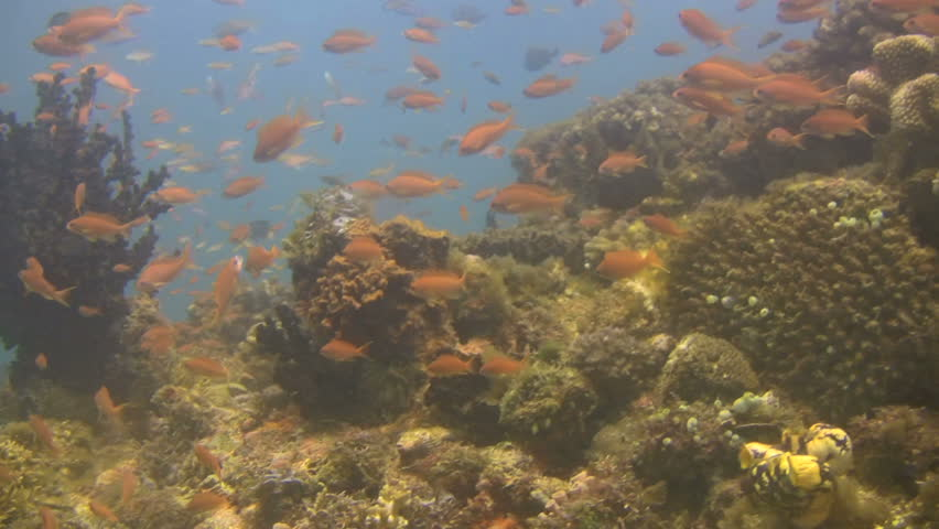 Shoal of small fish on a coral reef outside the island of Mindoro in the Philippines | Shutterstock HD Video #334150