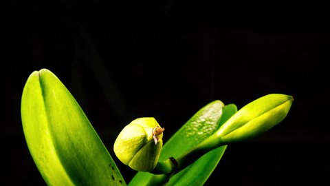 Time Lapse - Blooming Cattleya Orchid Flower with Black Background - 4K