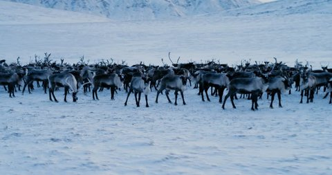View of the Arctic Mountains. Aerial view of herd of reindeer, which ran on snow in tundra. 4k. Slow Motion.