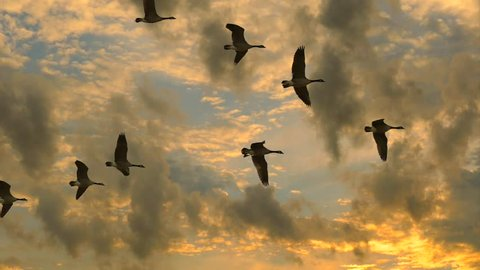 Flock of Canadian Geese flying, slow motion, in exceptionally dramatic sunrise sky.