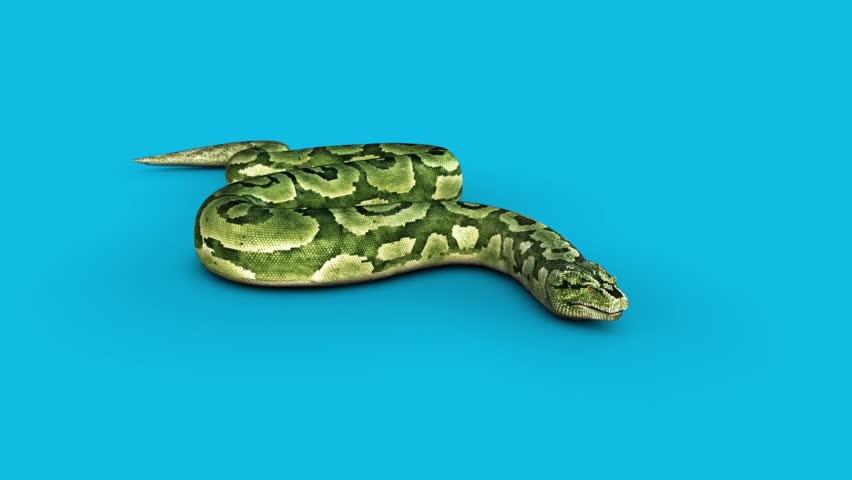 Boa Snake Attacks Blue Screen 3D Rendering Animation