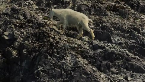 A Mountain Goat meanders up the glacial scarred rock cliffs of Glacier Bay National Park, Alaska.
