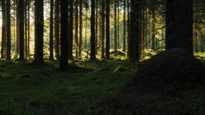 Time-lapse shot of tree shadows moving in a Finnish spruce forest with mossy ground. | Shutterstock HD Video #33660070
