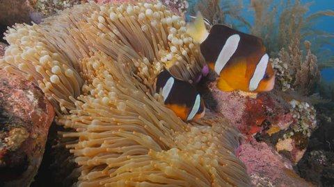Clownfish near Tulamben wreck, Bali, Indonesia, Lock shot