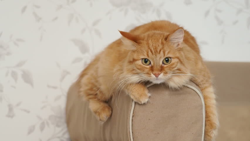 Cute ginger cat lying on arm of sofa. Fluffy pet starring in camera. Cozy home background. | Shutterstock HD Video #33702490