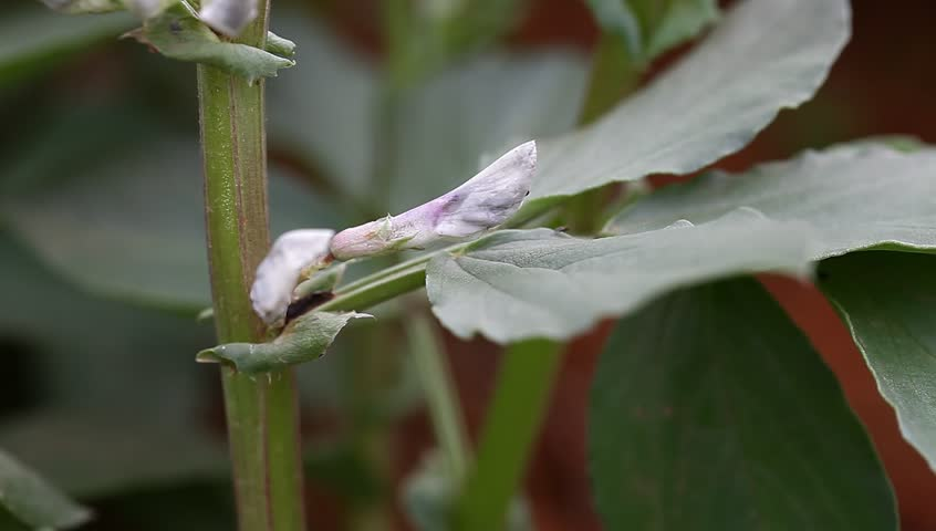 horse bean flower in the spring