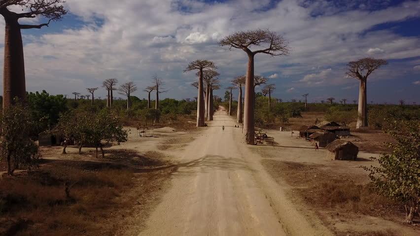 Baobab of Madagascar ,aerial view of giant Baobab, Morondava region